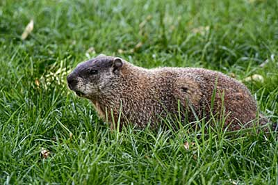 how to get a woodchuck out of its hole