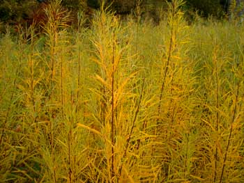 Yellowrivergrasses