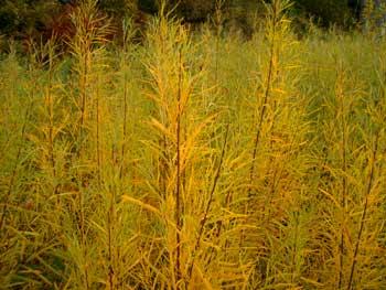 Yellowrivergrasses