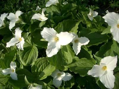 White_flower_2