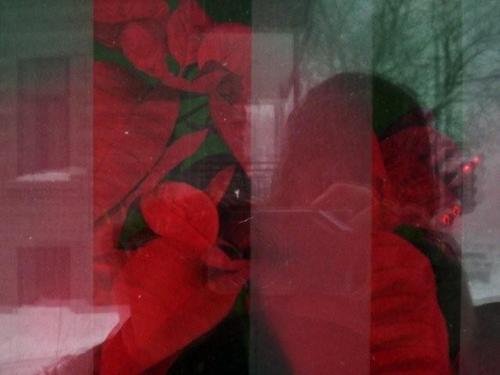Poinsettias_cropped
