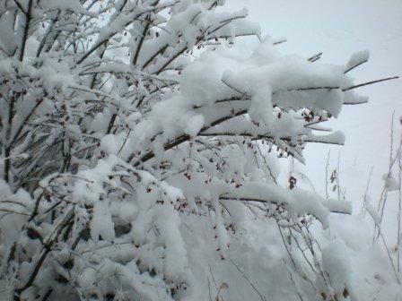 Burning_bush_in_snow