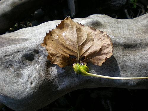 Leafondriftwood